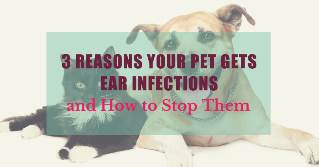 3 reasons your pet gets ear infections and how to stop them 1 1 boulder holistic vet angie krause