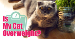 cat is overweight